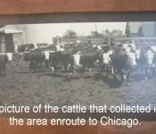 depot-cattle